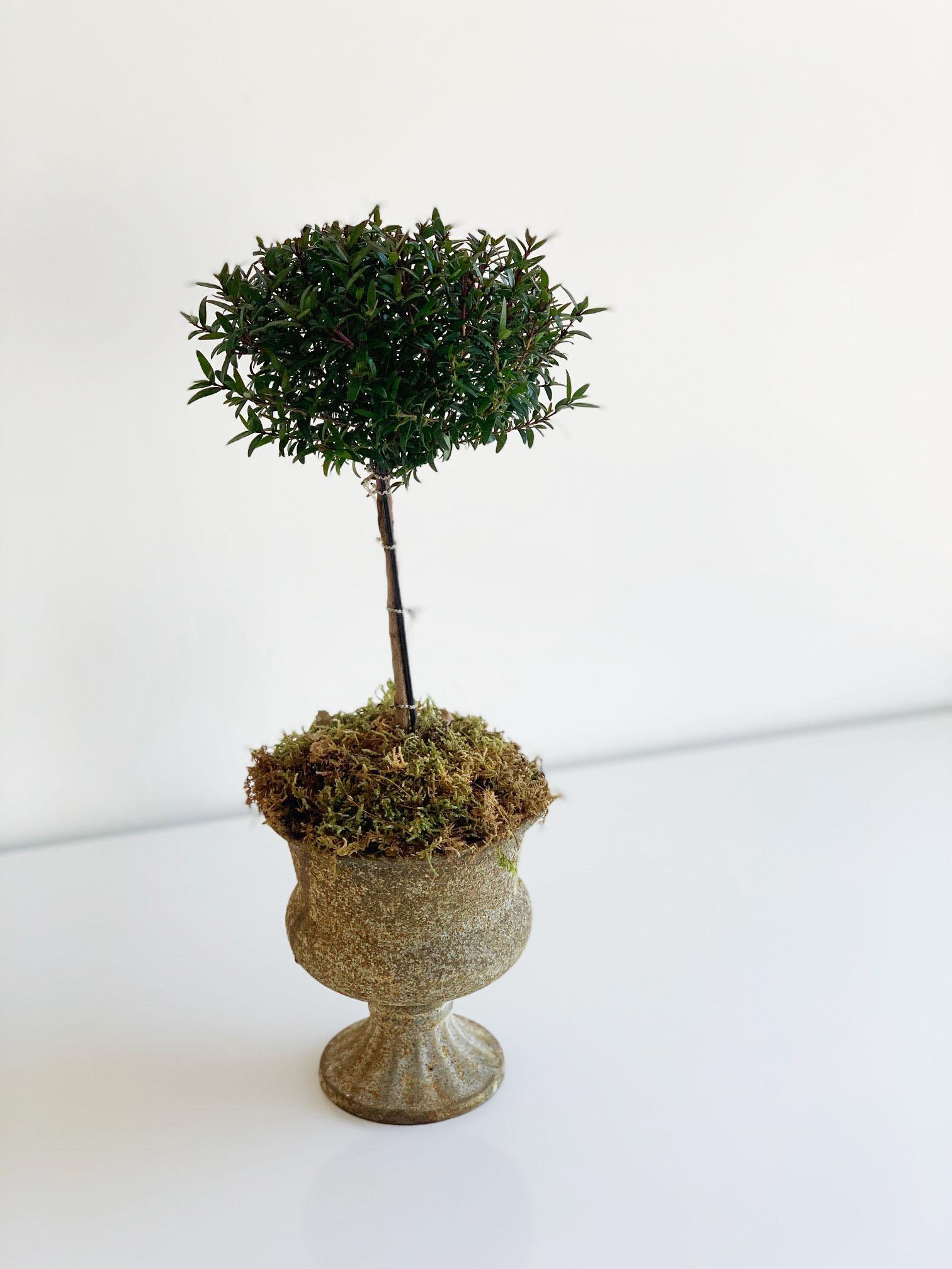 myrtle-topiary