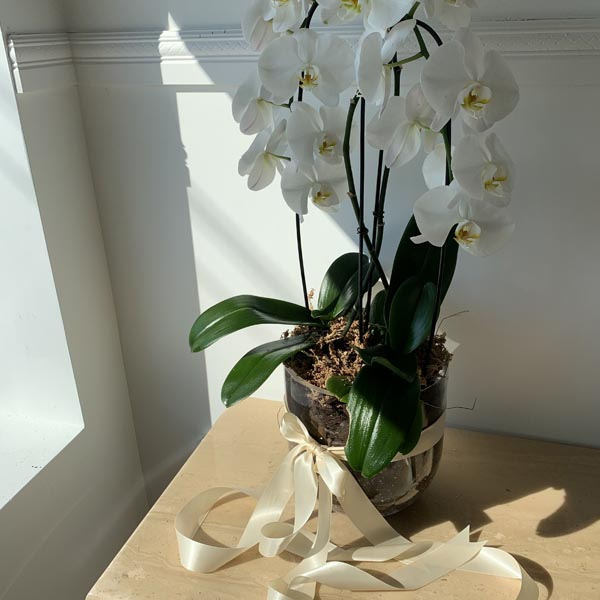 doubleorchid