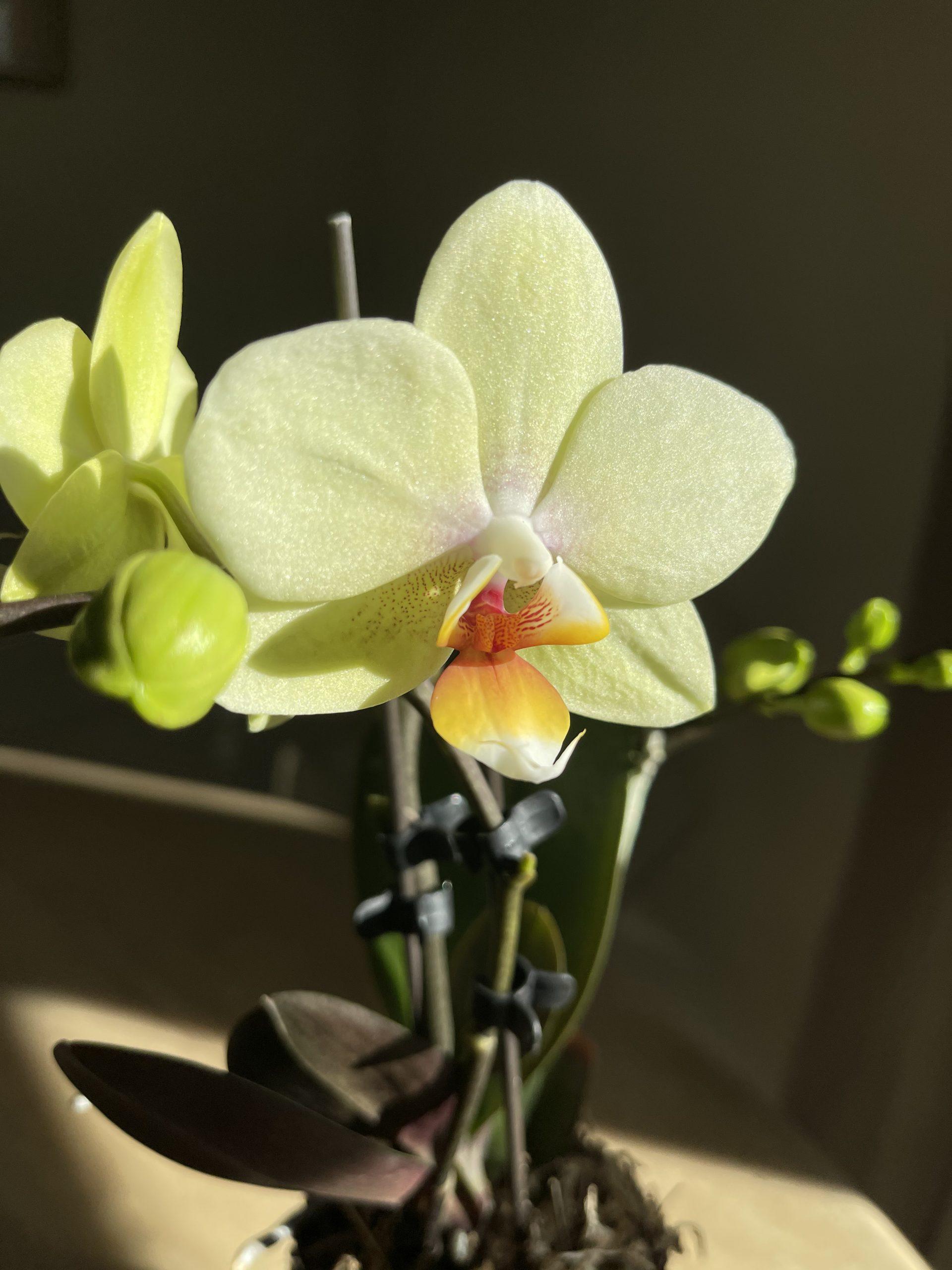 pottedorchiddelivery